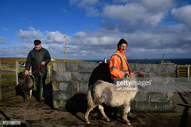 Jim and Sheila Gear attend to their Shetland Ponies Island of Foula on September 29 2016 in Foula Scotland Foula is the remotest inhabited island in...