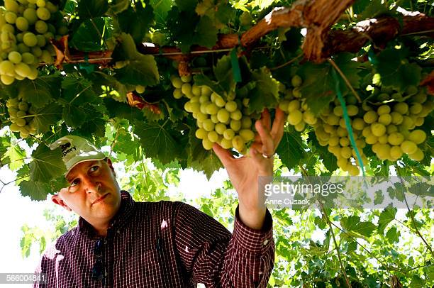 Jim Beagle CEO/Partner of the Grapery holds a Cotton Candy grape in his table grape vineyard in Bakersfield on July 17 2013 The grape will be...