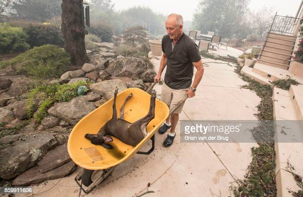 Jim Hanks uses a wheelbarrow to remove a fawn he found in the backyard pond of his Fountaingrove home one of the only homes on the block that...