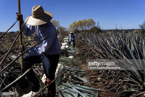 'A Jimador, agave field worker, cuts Weber Blue agave at a plantation in Mexico'