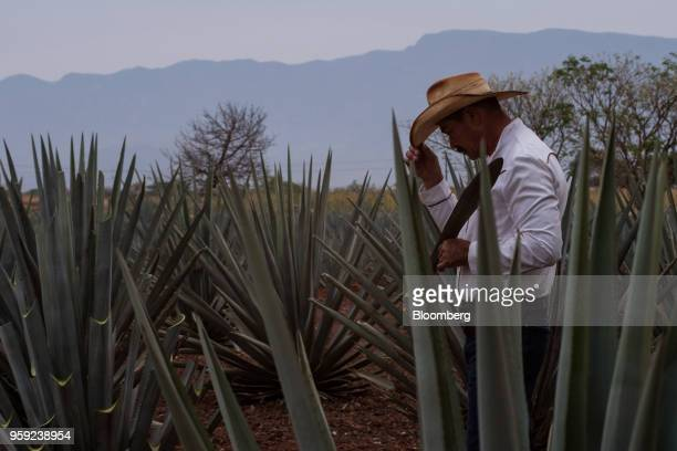 A Jimador agave field worker prepares to harvest blue agaves at the Becle SAB Jose Cuervo farm in the town of Tequila Jalisco state Mexico on...