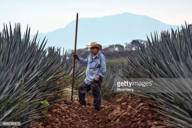 A Jimador agave field worker stands between blue agave plants at the Becle SAB Jose Cuervo farm in the town of Tequila Jalisco state Mexico on...