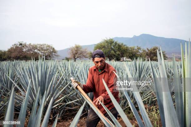 A Jimador agave field worker uses a coa de jima tool to cut the leaves off a blue agave during harvesting at the Becle SAB Jose Cuervo farm in the...