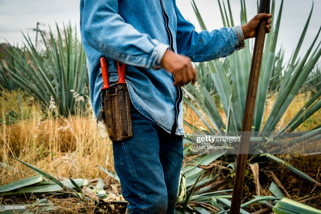 A Jimador cutting blue agave outside Tequila in Jalisco state Mexico : Stock Photo