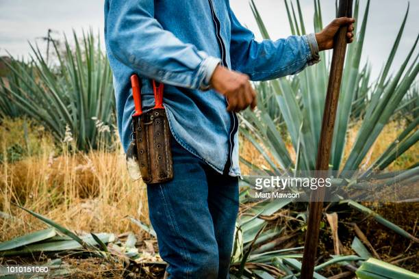 A Jimador cutting blue agave outside Tequila in Jalisco state Mexico