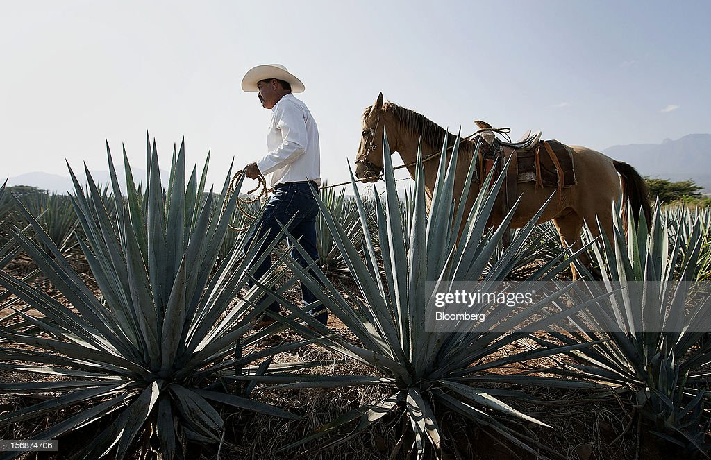 Jimador Don Ismael walks with his horse among tequila agave plants, also known as blue agave, growing in a field owned by Tequila Cuervo La Rojena S.A. de C.V., maker of Jose Cuervo, in Guadalajara, Mexico, on Thursday, Nov. 22 2012. There are more than 200 types of agave in Mexico, but use of the blue agave plant was made compulsory in the last century to the issuance of the Official Mexican Standard for Tequila production. Photographer: Susana Gonzalez/Bloomberg via Getty Images