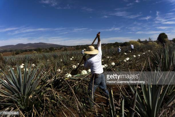"""Jimadors, agave field workers, cuts Weber Blue agave at a plantation in Mexico"""