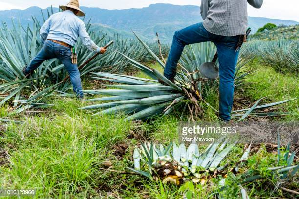 Jimadors cutting blue agave outside Tequila in Jalisco state Mexico