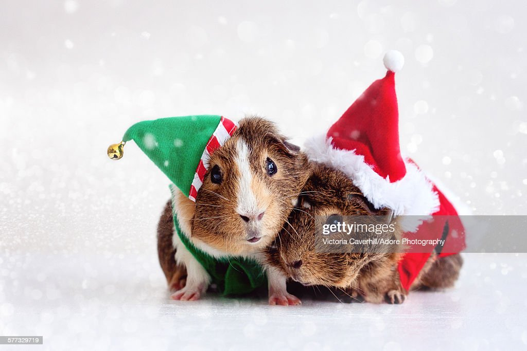 Jingle pigs : Stock Photo