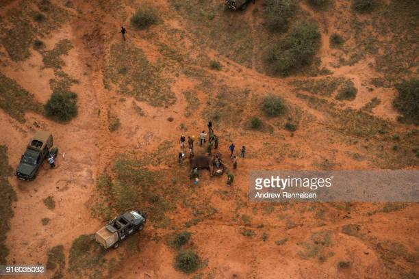 Jipe a female African Savannah elephant is collared after she was tranquilized during an elephant collaring operation on February 1 2018 in the the...