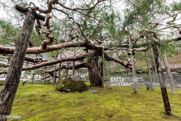 Jiunji Temple Giant Pine Tree - Jiunji Temple is blessed with a variety of growth: pine, cherry blossoms as well as a dry rock garden and moss which...