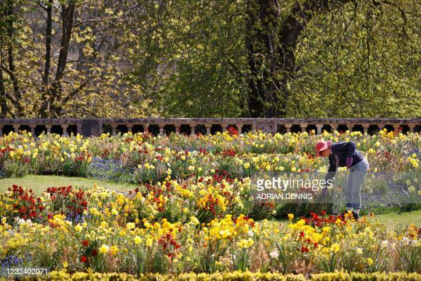 "Jo Wheeler a volunteer gardener works her way along the flower bed cutting the edges of the lawn beside the flower beds on the ""par terre"" at..."
