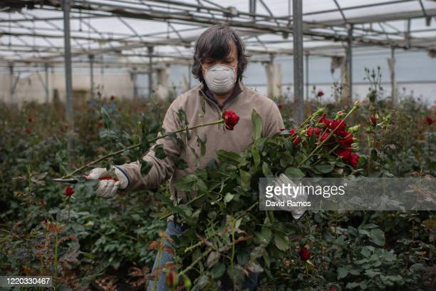 Joaquim Pons wearing a face mask collects roses to be sold online at his family rose plant nursery Flors Pons on April 22, 2020 in Santa Susanna,...