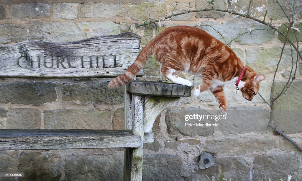 Jock VI, the current cat in residence, jumps from a memorial bench at Chartwell on January 23, 2015 in Westerham, England. Churchill's first cat, Jock, was given to him on his 88th birthday and when Chartwell was given to the nation it was requested that there should always be a similar cat in residence. The 'Death of a Hero' exhibition is opening at Chartwell, home of Britain's wartime leader Winston Churchill, to commemorate the 50th anniversary of his death and state funeral in 1965.
