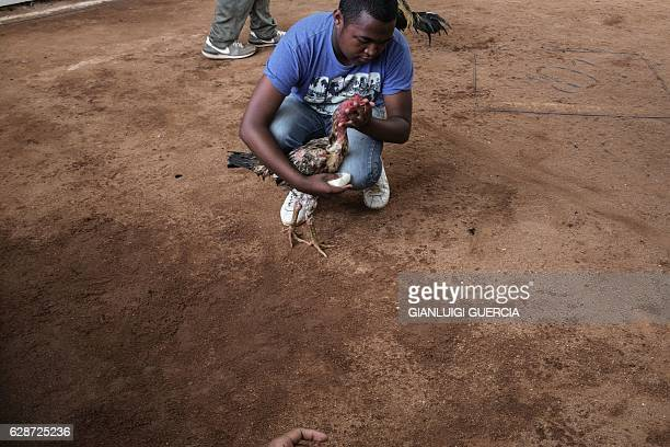 Jockey attends to his bird during a Cock fighting tournament on December 3, 2016 on the outskirts on Antananarivo. Cockfighting is held during the...
