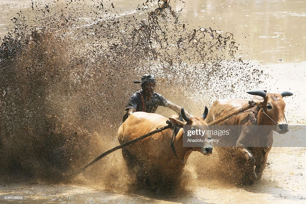 cow race pacu jawi in indonesia pictures getty images