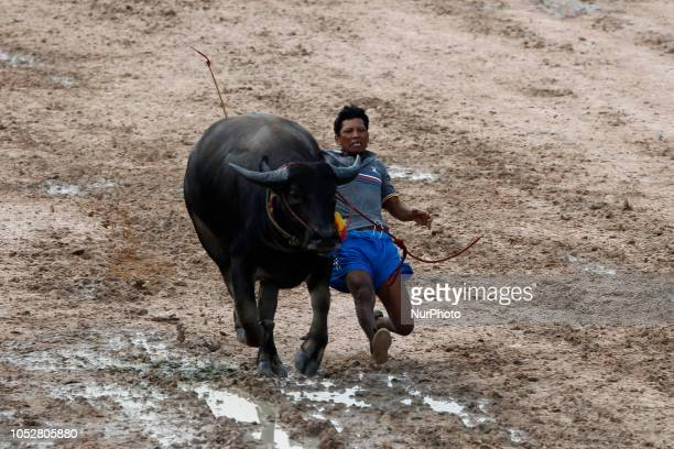 A jockey falls off a water buffalo during Chonburi's annual buffalo race festival in Chonburi province east of Bangkok on October 23 2018 The event...