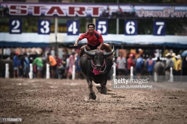 A jockey races a buffalo during the annual Chonburi Buffalo Race in Chonburi on October 12 2019 Whipwielding jockeys ride bulls bareback at...