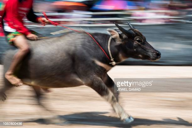A jockey rides a buffalo during the annual buffalo races in Chon Buri on October 23 2018 Several hefty buffaloes thunder down a dirt track in eastern...