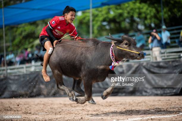 TOPSHOT A jockey rides a buffalo during the annual buffalo races in Chon Buri on October 23 2018 Several hefty buffaloes thunder down a dirt track in...