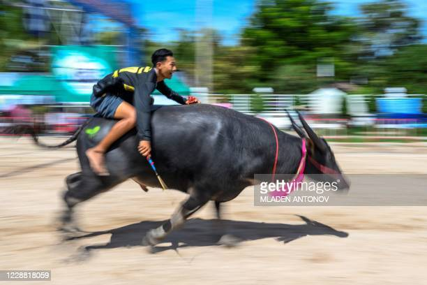 Jockey rides a water buffalo during the annual Chonburi Buffalo Race in Chonburi on October 1, 2020.