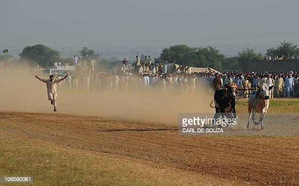 A jockey runs after his bulls after falling off during a bull racing tournament in Mithial village Punjab province of Pakistan on October 31 2010...