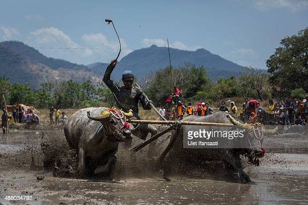A jockey spurs the buffalos as they race during the Barapan Kebo or buffalo races as part of the Moyo festival on September 13 2015 in Sumbawa Island...