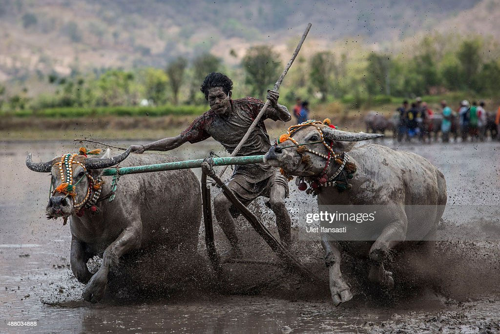 A jockey spurs the buffalos as they race during the Barapan Kebo or buffalo races as part of the Moyo festival on September 13, 2015 in Sumbawa Island, West Nusa Tenggara, Indonesia. The traditional Buffalo races, known as Barapan Kebo, are held by Samawa tribes in muddy rice fields to celebrate and provide entertainment ahead of the annual planting season. Jockeys secure themselves on a wooden structure attached to the buffalo, and manoeuvre across the mud in a race to the finish line. The jockeys weild long sticks, in a similar style to jousting, and direct them towards targets called 'Saka'. Hundreds of buffalos and jockeys gather to compete for farming tools, refrigerators and televisions which are awarded for the fastest buffalos to hit a target of 'Saka'. The best buffalos can sell for thousands of dollars.