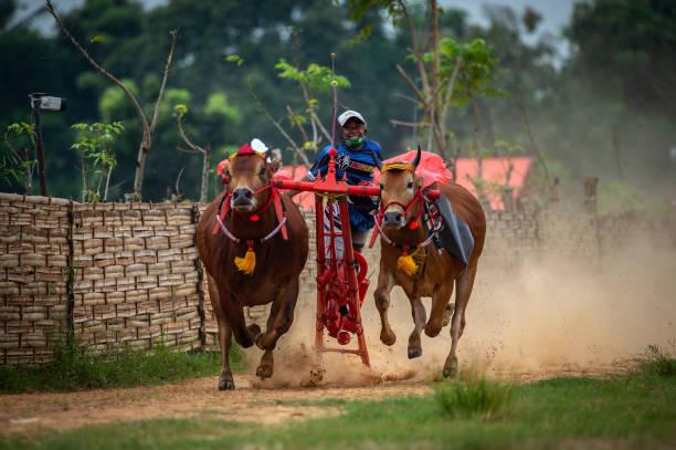 IDN: Traditional Karapan Sapi Bull Race