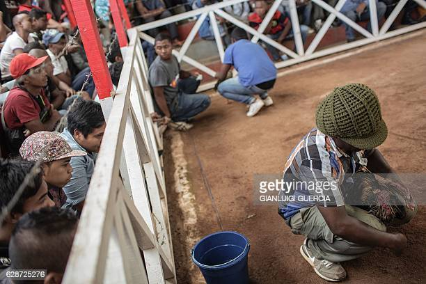 Jockeys and owners attend to their birds during a Cock fighting tournament on December 3, 2016 on the outskirts on Antananarivo. Cockfighting is held...