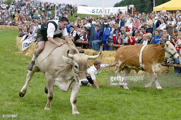 Jockeys attempt to reach the finish on on their oxen during the 3rd Muensing Ox Race August 29 2004 in Muensing Germany Approximately 20 contestants...