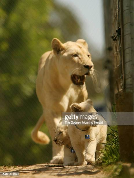 Joe and Purr, the first white lion cubs born in Australia, aged 10 weeks, are introduced to their pride by their mother Nkungwe, at Mogo Zoo on the...