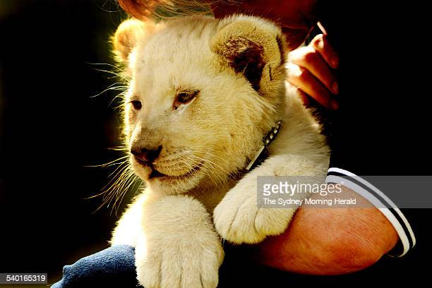 Joe and Purr, the first white lion cubs born in Australia, aged 10 weeks, at Mogo Zoo on the NSW South Coast, 29 September 2006. SMH Picture by CHRIS...