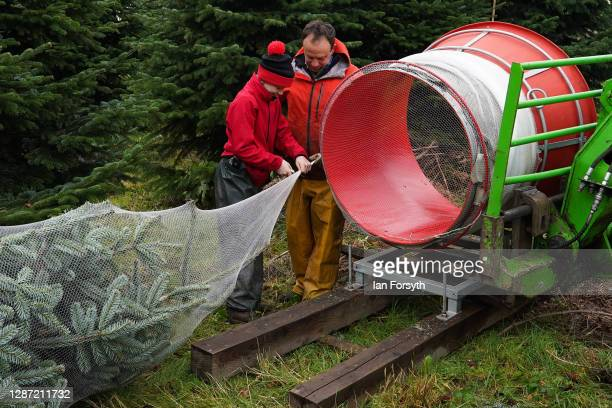 Joe Combe and Olly Combe owner of York Christmas cover a 20 foot Nordmann Fir tree in netting as it is felled to be sent to stand outside 10 Downing...