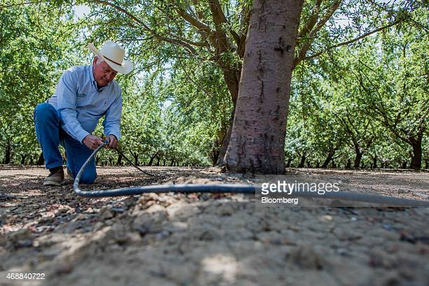 Joe Del Bosque president of Del Bosque Farms Inc inspects a water hose used for drip irrigation in an almond orchard at Del Bosque Farms Inc in...
