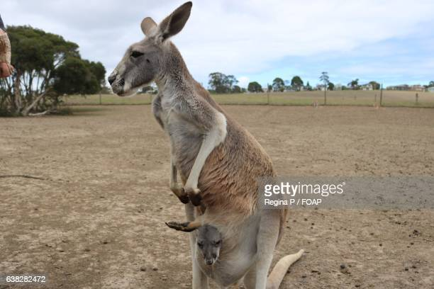 joey in kangaroo's pouch - inside a kangaroo pouch stock pictures, royalty-free photos & images