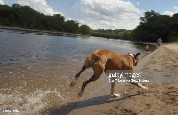 Joey McLeister/Star Tribune Minneapolis MnWedsAug 4 2004Baron takes off down the Mississippi River shoreline at the dog park GENERAL INFORMATION We...