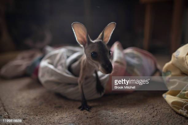 A joey named Thirty who is under the care of Wytaliba residents and wildlife carers Julie Willis and Gary Wilson is pictured on January 14 2020 in...
