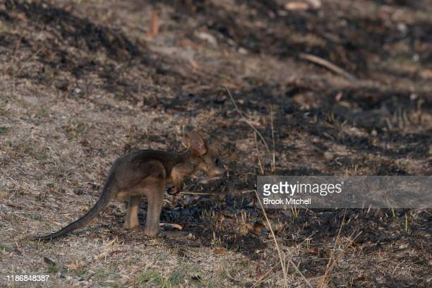 Joey separated from it's dead mother is pictured on a burnt out section of Torrington on November 11 2019 in Glen Innes Australia Three people have...