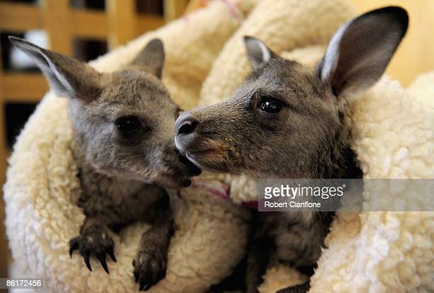 Joeys rescued after the recent bushfires are seen at the home of carer Annie Williams on April 23 2009 in Gisborne Australia Whilst the state of...