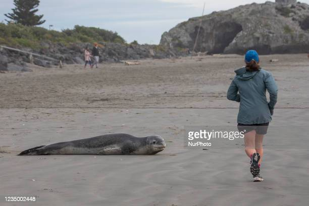 Jogger passes a Leopard seal on Sumner beach in Christchurch, New Zealand on September 02, 2021. Leopard seals are usually found on Antarctic pack...