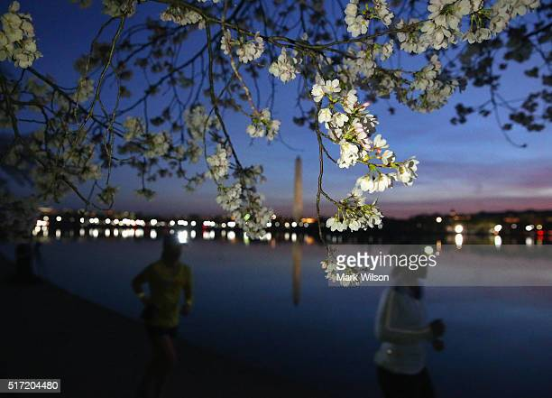 Joggers run past blooming Cherry Blossoms that surround the Tidal Basin March 24 2016 in Washington DC The National Park Service has predicted that...