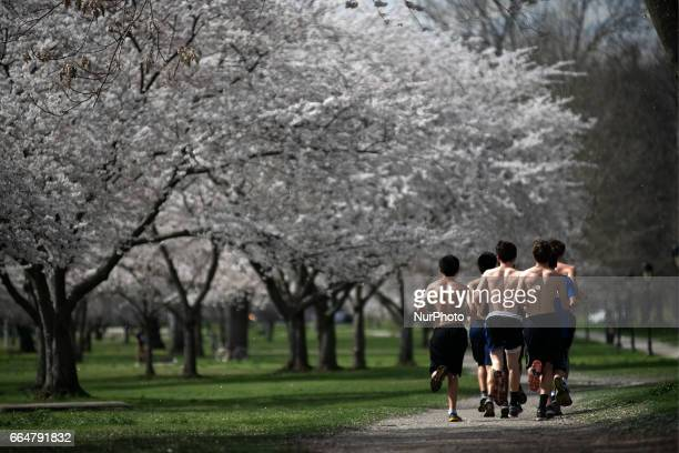 Joggers run under cherry blossoms in full bloom on the Schuylkill River Banks as people enjoy the early spring weather in the Fairmount Park section...