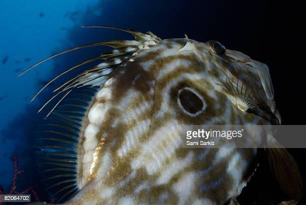 John Dory fish (Zeus Faber), Marseille, Mediterranean Sea, France