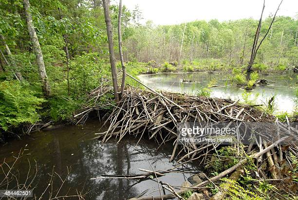 20070612 Tuesday June 12 2007 A beaver dam blocks up a small stream on a Standish woodlot owned by Neal Dow Dow is resisting development pressures...