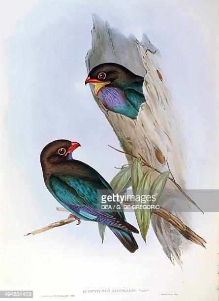 John Gould The Birds of Australia 1848 Oriental Dollarbird Volume II plate 17 engraving