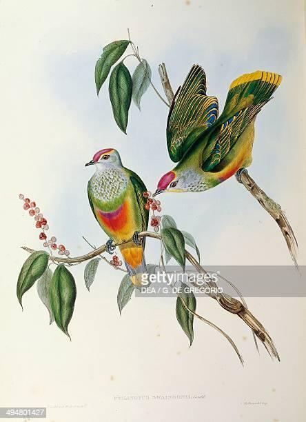 John Gould The Birds of Australia 1848 Rosecrowned Fruit Dove Volume V plate 55 engraving