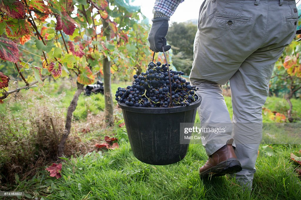 The Grape Harvest Is Gathered At Parva Farm Vineyard : News Photo