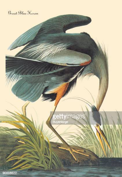 John James Audubon was the premier naturalist and a well respected American ornithologist His attention to detail and his prints became world famous...
