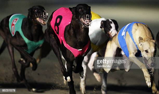 Johnny Midnight races home to win the Pacific Sheet & Coil Auckland Cup Consolation during the 2009 Greyhound Auckland Cup meeting at Manukau...